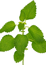 Piping Rock Melissa Lemon Balm Supplements